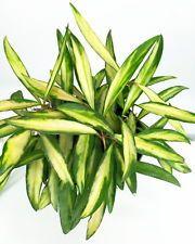 "Bamboo Leaf Wax Plant - Hoya kentiana 'Variegata' - Great House Plant - 4"" Pot"