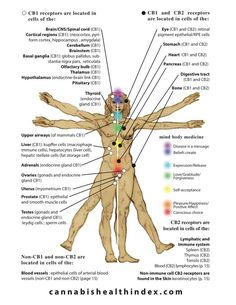 Endocannabinoid System Diagram, from The Cannabis Health Index Basal Ganglia, Cell Forms, Endocannabinoid System, Cbd Hemp Oil, Marijuana Plants, Cannabis Growing, Medical Cannabis, Cancer Treatment, The Secret