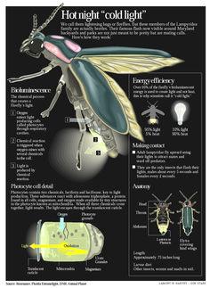 fireflies,scientific illustration - Google Search