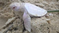 Wildlife volunteers say they were stunned to find an extremely rare albino turtle on a beach in Australia on Sunday.
