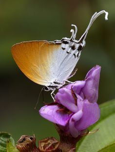 The Grand Imperial Butterfly
