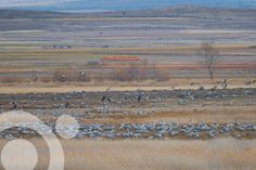 #Birding_in_Spain : Fields of cranes (Grus grus) in Gallocanta Nature Reserve. Find all the information to plan your trip to #Gallocanta in www.qnatur.com