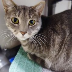 Cleopatra is an adoptable domestic short hair searching for a forever family near Mount Holly, NJ. Use Petfinder to find adoptable pets in your area.