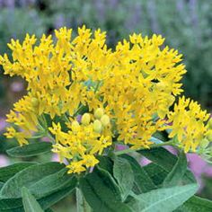 A yellow-flowered Butterfly Weed with great drought tolerance; attractive to butterflies and bees.