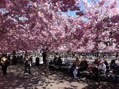 Spring in Kungsträdgården Garden in Stockholm. By: Pernilla Hultsten. Tags:  #PinStockholm