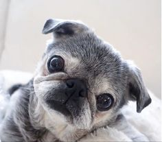 Receive great suggestions on funny pugs. They are actually offered for you on our web site. Cute Pugs, Cute Puppies, Dogs And Puppies, Funny Pugs, Puggle Puppies, Terrier Puppies, Pug Love, I Love Dogs, Baby Pug Dog