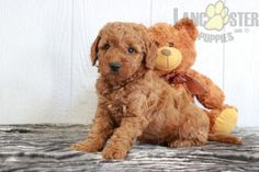 #MiniGoldendoodle #Charming #PinterestPuppies #PuppiesOfPinterest #Puppy #Puppies #Pups #Pup #Funloving #Sweet #PuppyLove #Cute #Cuddly #Adorable #ForTheLoveOfADog #MansBestFriend #Animals #Dog #Pet #Pets #ChildrenFriendly #PuppyandChildren #ChildandPuppy #LancasterPuppies www.LancasterPuppies.com