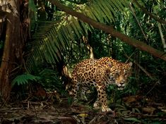 Jaguar (Panthera onca) have world population size at approximately 15 000 individuals (2012) and have a weight that can exceed 160 kg (males). The species is today (2013) listed at the ICUN Red List as near threatened. (Photo: Stevie Winter)
