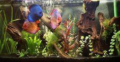 Imagen de http://foro.acuarios.es/attachments/nuestros-acuarios-discos/20061d1247500318-mi-200lts-vecinos-019.jpg
