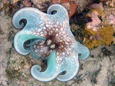octopus - St. John, USVI (by Rebecca Raichle Monette)
