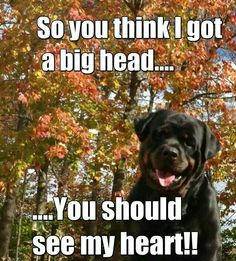 """Visit our site for even more details on """"rottweiler dogs"""". It is actually an exceptional location to find out more. Rottweiler Quotes, Rottweiler Dog Breed, Rottweiler Facts, Rottweiler Training, German Rottweiler, Doberman, Big Dogs, I Love Dogs, Cute Dogs"""