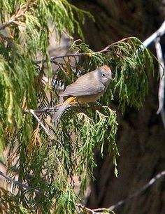 Searching For the Colima Warbler In Big Bend National Park
