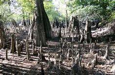 forest abod, tree top, cypress knee, mooie bomen