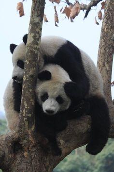 **Great images: WWF (World Wildlife Fund) Tree Wrestling Chengdu Panda Base