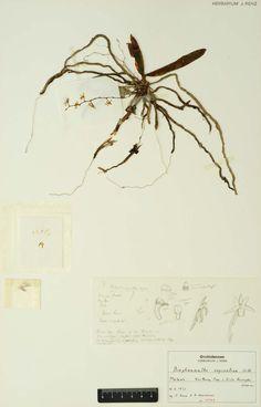 Rhipidoglossum oxycentron