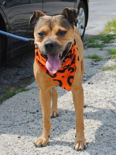 TO BE DESTROYED - 8/9/14 Brooklyn Center -P  My name is MORRIS. My Animal ID # is A1008968. I am a male brown and tan germ shepherd mix. The shelter thinks I am about 3 YEARS old.  I came in the shelter as a STRAY on 08/02/2014 from NY 11207, owner surrender reason stated was STRAY. https://www.facebook.com/Urgentdeathrowdogs/photos/a.611290788883804.1073741851.152876678058553/848867315126149/?type=3&theater