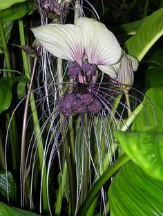 White Bat Flower - Tacca Integrifolia - Exotic Chinese Bulb Seeds - White Devil Flower - 5 Seeds