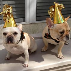 Clementine and Beau, French Bulldog Siblings, are 3 today, Happy Birthday!