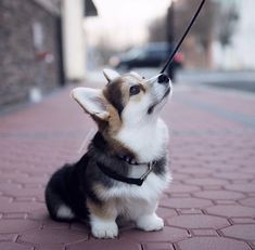 20 of the cutest hybrid dog breeds that . - 20 of the cutest hybrid dog breeds that got the best of two worlds – Ritely – animals – - Cute Corgi Puppy, Cute Puppies, Dogs And Puppies, Pomeranian Puppy, Cutest Puppy Breeds, Corgi Mix Breeds, Corgi Dog Breed, Pembroke Welsh Corgi Puppies, Puppies Tips