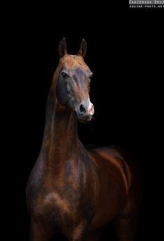 Photos of Akhalteke horses by Ekaterina Druz Equine Photography