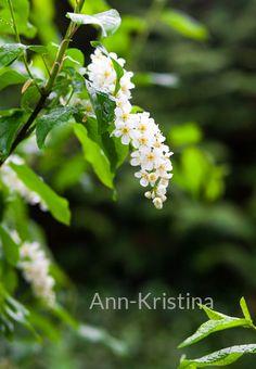 Ann-Kristina Al-Zalimi, Prunus padus, hägg, tuomi, bird cherry, hackberry, flora, plant, garden, tree, puutarha