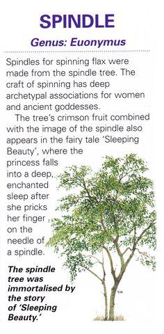 Sacred celtic tree - Spindle