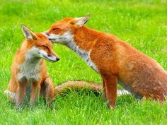 http://dogruzi.ru/fo/screen/files/b6/b607a956f8f3f10f524e6c83fc71caf5/29304268/Two-foxes-on-the-grass_1024x768_dogruzi.ru.jpg