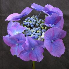 Hydrangea macrophylla 'Blaumeise', synonyms 'Teller Blue', 'Blue Sky'. Most hydrangea experts agree: this is the best blue lacecap.