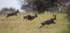 African Wild Dog - formidable hunters. Loisaba Conservancy (Image by Silverless)