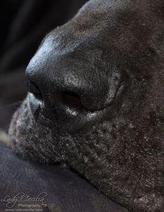 Great Dane Nose