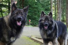 Rebel & Zak, The Beastie Boys. German Shepherds, German Shepherd Dogs, Shiloh Shepherd, Beastie Boys, More Cute, Writing Ideas, Dog Stuff, Farm Animals, Dog Breeds