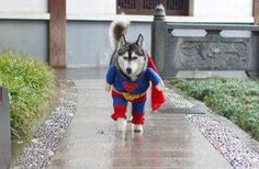 Superman Outfit for a Large Dog