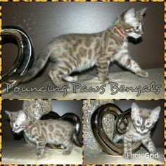 Bengal Kittens For Sale, Kitten For Sale, Cats And Kittens, Silver Bengal, Cattery, Pets, Animals, Animales, Animaux