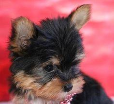 Tiny AKC Teacup Yorkshire Terrier, Yorkie Female- 9 weeks #yorkshireterrier