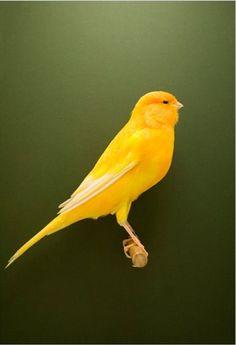 10 Mejores Imágenes De Trabajo Canario Ave Aves De Compañía Canarios