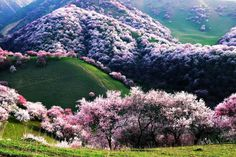 """malformalady: """" Yili Apricot Valley, China. Every year, these rolling hills in Xinjiang explode into a puffy sea of pink and white. As the largest groves of apricots in the region, this flowering..."""