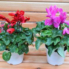 Flores hermosas como estas podes encontrar en nuestro local. El Paseo de Kaldi #rosario #viveroboutique Photo And Video, Instagram, Vivarium, Walks, Rosario, Plants, Flowers