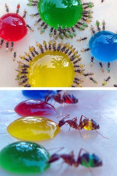 how to kill ants sugar water