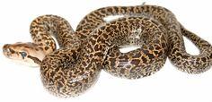 The Burmese Python Morph List - Reptile Forums