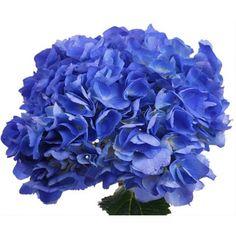 Hydrangea Elite Shoking Blue x 30 Stems. Hydrangeas For Sale, Types Of Hydrangeas, Hydrangea Colors, Pink And Blue Flowers, Tropical Flowers, Purple, Paradise Flowers, Shocking Blue, Forest Flowers