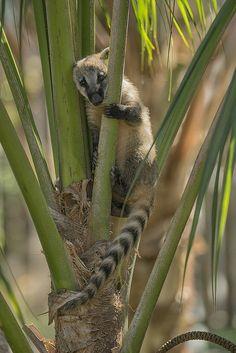 Cute little coati sitting in a tree.