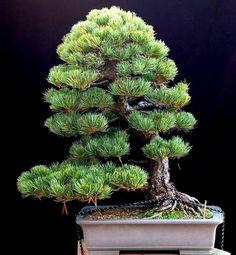 JP: European White Needle Pine
