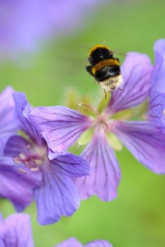 Bees are naturally attracted to purple and blue flowers such as this pretty violet-blue geranium