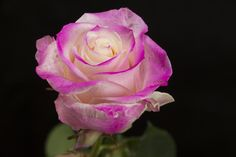Roses, Fancy, Flowers, Plants, Pink, Flora, Rose, Plant, Royal Icing Flowers