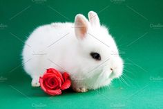 Rabbit with flower Photos Beautiful white rabbit with pink rose on green background by TalyaPhoto