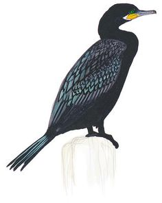 This dark, long-bodied diving bird floats low in the water with its thin neck and bill raised; perches upright near water with wings half-spread to dry. The Double-crested (which rarely looks noticeably crested in the field) is the most generally distributed cormorant in North America, and the only one likely to be seen inland in most areas.
