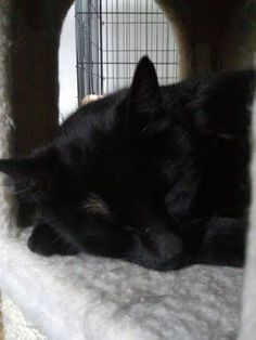 adopted july 2014 It BREAKS our hearts that Otis is STILL waiting for a home! He is going stir crazy :( Months have gone by without a single visitor for. Black Animals, Cute Animals, Black Cats, Beautiful Cats, Beautiful Babies, Animal Shelter, Animal Rescue, Big Cats, Cats And Kittens