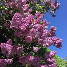 #happymonday and it's such a stunning day and I'm off enjoying it as its my birthday! So taking in all the pretty today like this lovely #lilac
