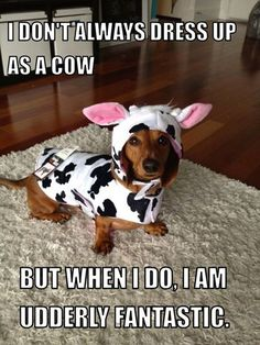 Dachshund dressed as a cow looking udderly fantastic. Dachshund Funny, Dachshund Love, Funny Dogs, Daschund, Dachshund Costume, Baby Animals, Funny Animals, Cute Animals, Cute Puppies