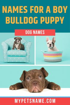 Perhaps a great name for a male Bulldog would be 'Tommy', because of their associations with British soldiers? Regardless of which country your canine hails from, we have this list of brilliant boy Bulldog names for your perusal. Male Pet Names, Boy Dog Names, Puppy Names, British Names, British Boys, Bulldog Puppies, Dogs And Puppies, Bully Dog, Cute Names